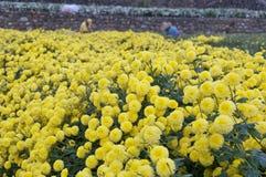 Taiwan's Daisy farm harvest Stock Images