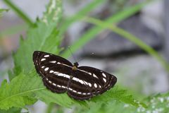 Taiwan's three lines butterfly Royalty Free Stock Image