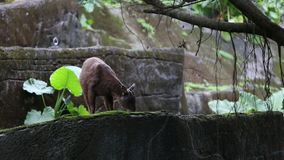 The Taiwan serow eating in the forest. Capricornis swinhoei. Or Naemorhedus swinhoei is also known as the Formosan serow, is a small bovid endemic to the main stock video footage