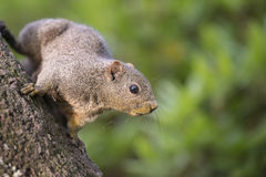 Taiwan Squirrel Stock Photography