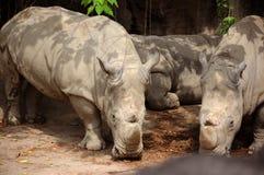 Taiwan Taipeh, Stadsdierentuin, Grey Rhino van Afrika, het eten royalty-vrije stock afbeelding