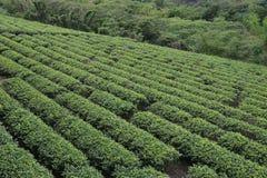 Taiwan tea. Taiwan oolong tea garden Luye Township Royalty Free Stock Photography