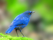 Taiwan Whistling Thrush a blue bird Stock Photos