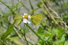 Taiwan Yellow Butterfly. Butterfly from the Taiwan (Eurema blanda arsakia) Taiwan Yellow Butterfly stock image