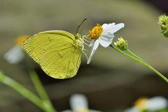 Taiwan Yellow Butterfly. Butterfly from the Taiwan (Eurema blanda arsakia) Taiwan Yellow Butterfly stock photos