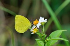 Taiwan Yellow Butterfly. Butterfly from the Taiwan Jamides alecto dromicus Fruhstorfer Taiwan Yellow Butterfly royalty free stock photo