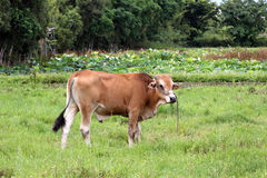 Taiwan Yellow Cattle Stock Images
