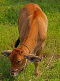 Taiwan yellow cattle. Stock Images