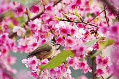 Taiwan Yuhina with pink flowers Royalty Free Stock Photo