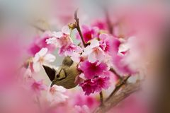 Taiwan Yuhina with pink flowers Stock Photos