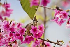 Taiwan Yuhina with pink flowers Stock Photo