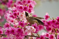 Taiwan Yuhina with pink flowers Royalty Free Stock Image