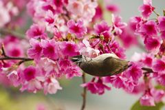 Taiwan Yuhina with pink flowers Royalty Free Stock Photos