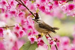 Taiwan Yuhina with pink flowers Stock Images
