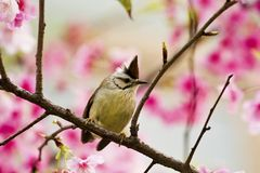 Taiwan Yuhina with pink flowers Stock Image