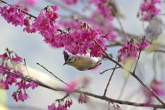 Taiwan Yuhina,Yuhina brunneiceps Royalty Free Stock Photos