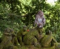 Taiwanese macaque of Taiwanese cyclopis van resusaapmacaca naast de steenapen Verdeeld in Taiwan, hoofdzakelijk in het Noorden stock afbeelding