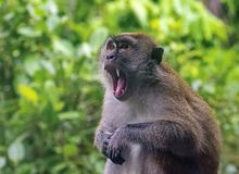 Taiwanese macaque of Taiwanese cyclopis van resusaapmacaca Verdeeld in Taiwan, hoofdzakelijk in het Noordoosten en het Zuidwesten royalty-vrije stock foto's
