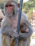 Taiwanese macaque of Taiwanese cyclopis van resusaapmacaca Verdeeld in Taiwan, hoofdzakelijk in het Noordoosten en het Zuidwesten stock foto