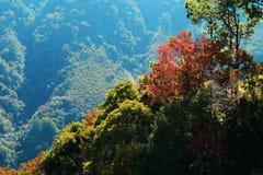 Taiwanese maple tree. Colorful Taiwanese maple tree Royalty Free Stock Image