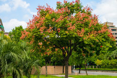 Taiwanese Rain Tree in the park Stock Image