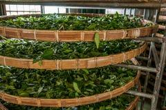Taiwans Chiayi-Stadt, langes Misato-Gebiet von TeeArbeitern h?ngen Oolong-Tee (ersten Prozess des Tees: trocknen Sie Tee) Stockfotografie