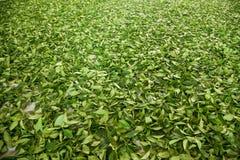 Taiwans Chiayi-Stadt, langes Misato-Gebiet von TeeArbeitern h?ngen Oolong-Tee (ersten Prozess des Tees: trocknen Sie Tee) Stockfotos