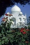 Taj Mahal, enmarcado por pointsettias, Foto de archivo libre de regalías