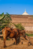 Taj Mahal fence and a cow grazes near this wonder of the world. One of the most famous building in the world. This. Taj Mahal fence and and a cow grazes near Stock Photography