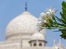 Taj Mahal un monumento di amore e di dispiacere, Agra, India in un angolo differente con il fiore Immagine Stock Libera da Diritti