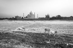 Taj mahal from yamuna river in sunset stock photos