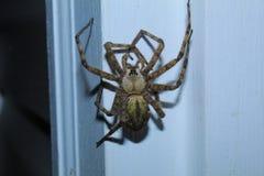 Tajemnica Żółty Wilczy pająk zdjęcia stock