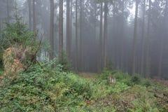Tajemnica w ciemnym lesie wypełniał z mgłą Obraz Stock