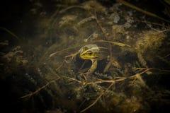 Tajemnicy żaba Obraz Royalty Free