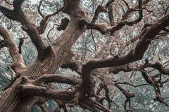 Tajemniczy Drzewny Infrared Zdjęcie Royalty Free