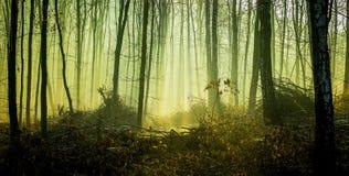 Tajemniczy gęsty ciemny las w ranku fog_ zdjęcie stock