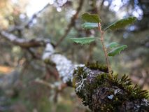Tajemniczy las, liszaje na gałąź drzewa i starzy bagażniki, fotografia stock