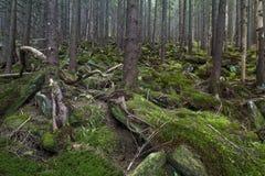 Tajemniczy piękny las z mechatymi kamieniami fotografia royalty free