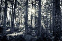 tajemniczy straszny błękitny lasowego drzewa krajobraz Zdjęcia Stock