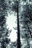 tajemniczy straszny błękitny lasowego drzewa krajobraz Fotografia Stock