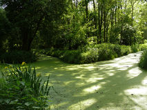 Tajemniczy strumień zakrywający z zielonym duckweed Zdjęcie Stock