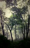 Tajemniczy tekowi drzewa przez mgły w himalajach Zdjęcia Royalty Free