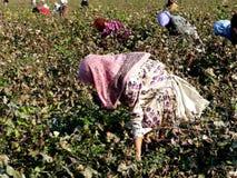 Tajik women picking cotton Stock Image