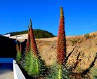 Tajinaste blommor Arkivfoto