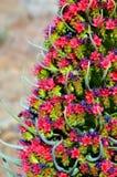 Tajinaste (Echiumwildpretii) blomma Royaltyfri Fotografi