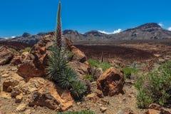 Tajinaste. In Teide National Park Royalty Free Stock Photo