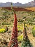 Tajinaste - unik endemiskväxt på Tenerife Arkivbild