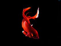 Tajlandia bitwy ryba Fotografia Stock