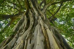 Tajlandia drzewo Zdjęcie Royalty Free