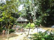 Tajlandia insekta Nephila wielki lasowy pająk z długimi nogami na pająk sieci na zielonym tle Zdjęcie Royalty Free